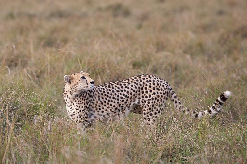 Cheetah 6814