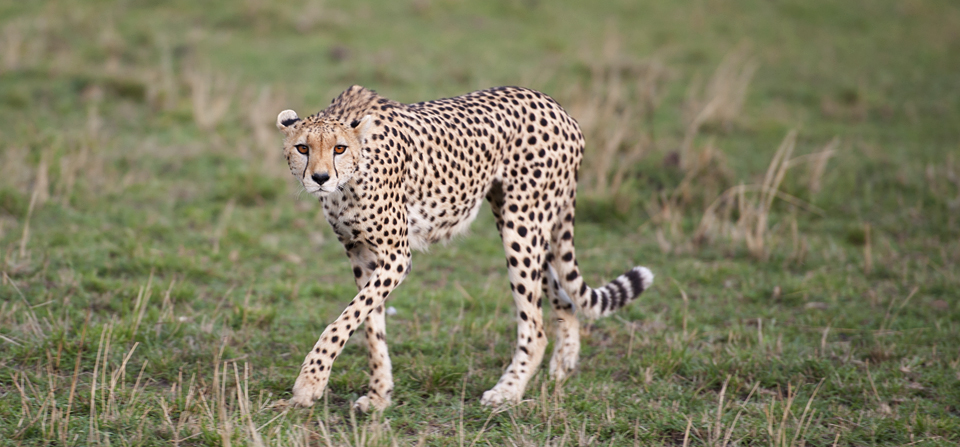 Animals of Africa #21 – Cheetah looking for prey in Masai Mara