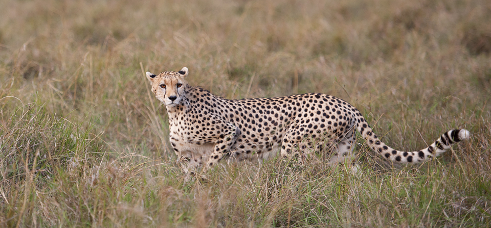 Animals of Africa #22 – Cheetah in Masai Mara
