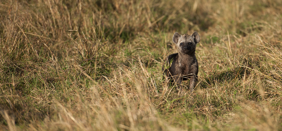 Animals of Africa #24 – Curious Hyena cub in Masai Mara