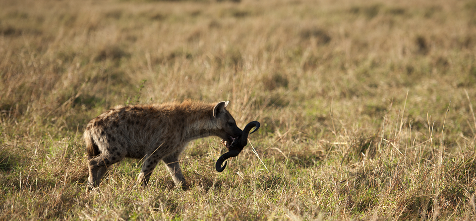 Animals of Africa #25 – Spotted Hyena in Masai Mara