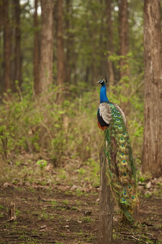 Peacock 6121