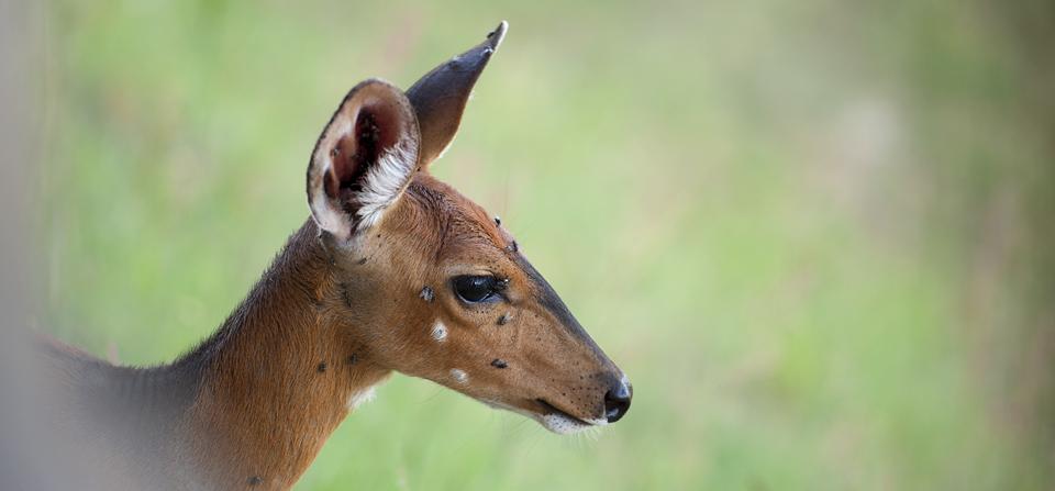 Animals of Africa #28 : Friendly Bushbuck in Masai Mara