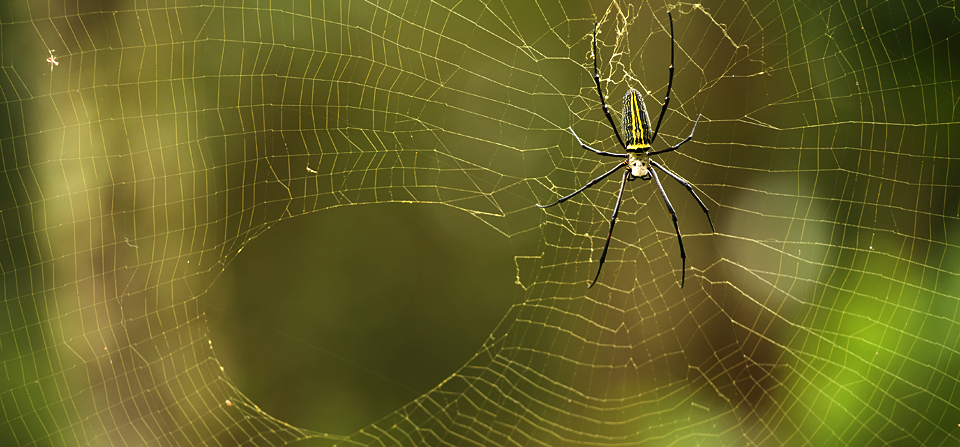 Giant Wood Spider repairing its web