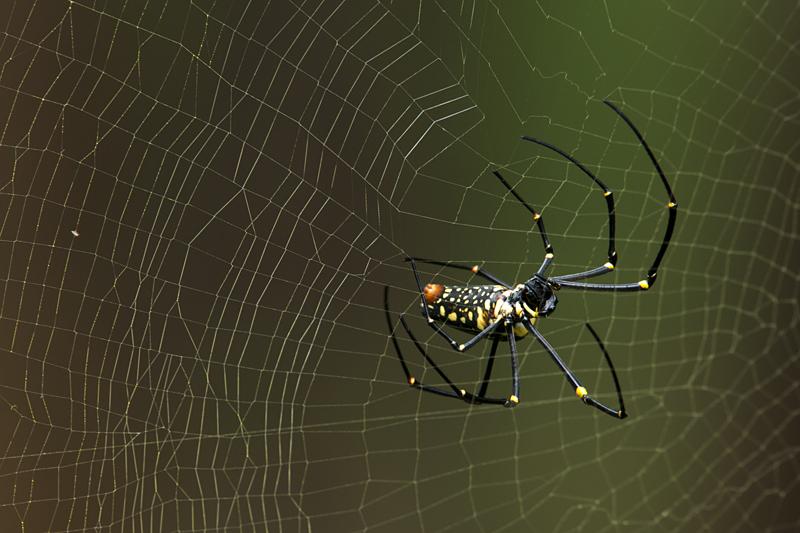Wood Spider