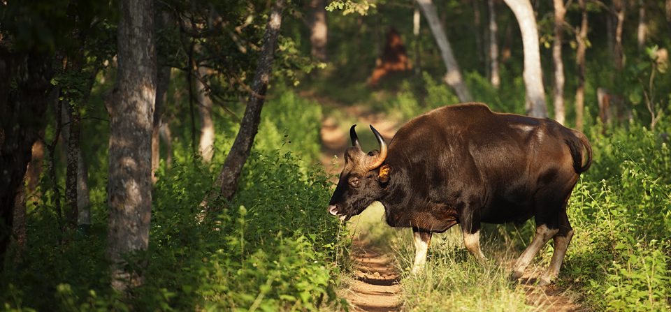 Animals of India #74 : Portraits of a Bull Gaur