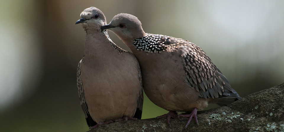 Birds of India #93 : Courting pair of Spotted Doves