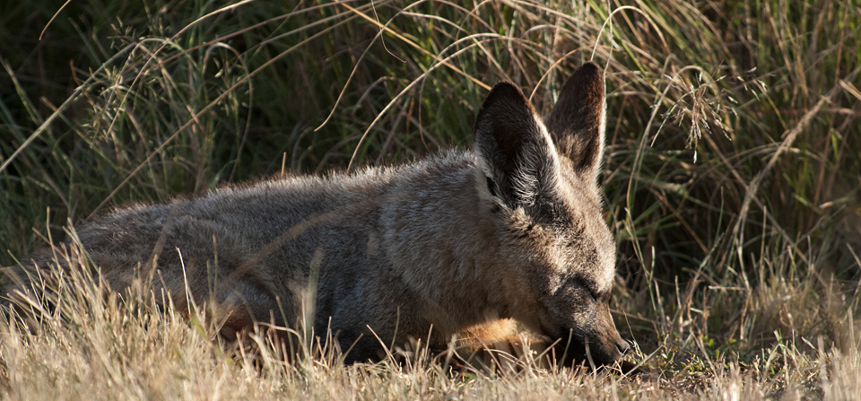 Bat-eared Foxes caught sunbathing in Masai Mara