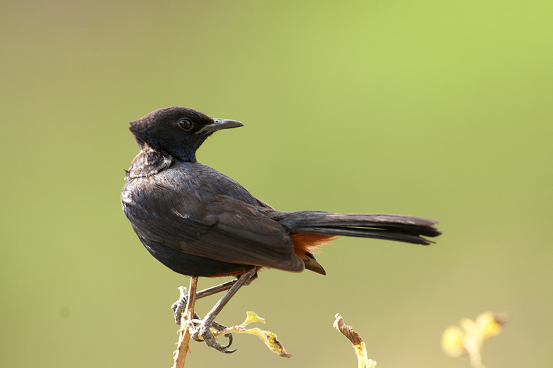 Indian Robin