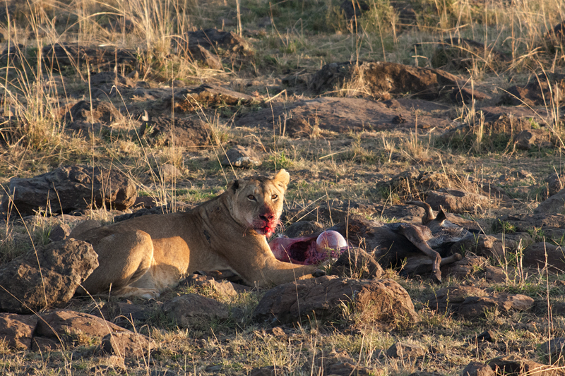 Lion with Wildebeest Kill