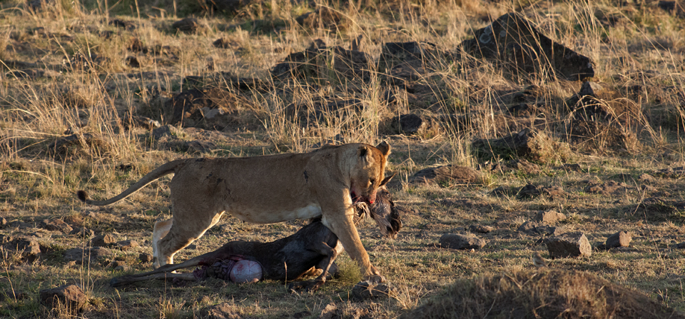 Animals of Africa #35 : Lions at a Wildebeest kill in Masai Mara