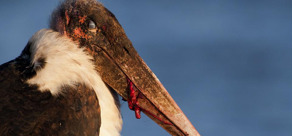 Marabou Stork in Masai Mara