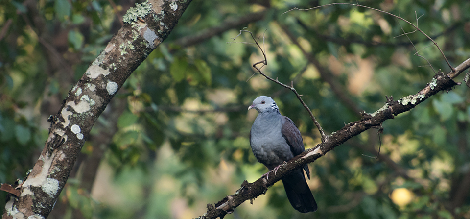 Birds of India #96 : Spotted a well camouflaged Nilgiri Wood Pigeon