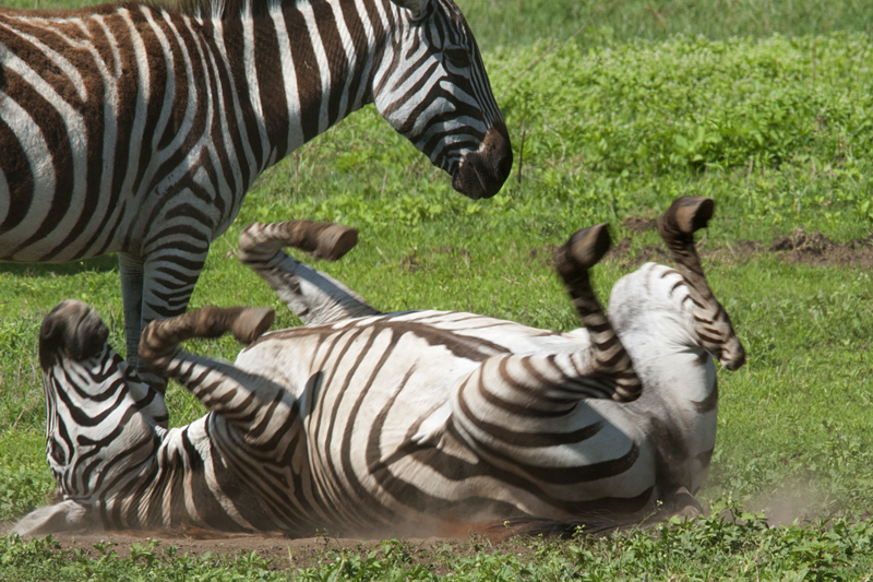 Mud bathing Zebra