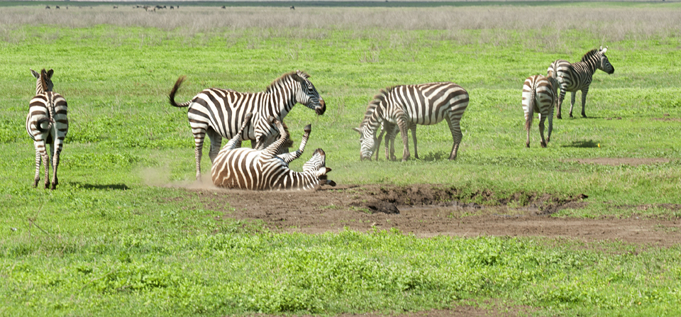 Zebra enjoying a mud bath