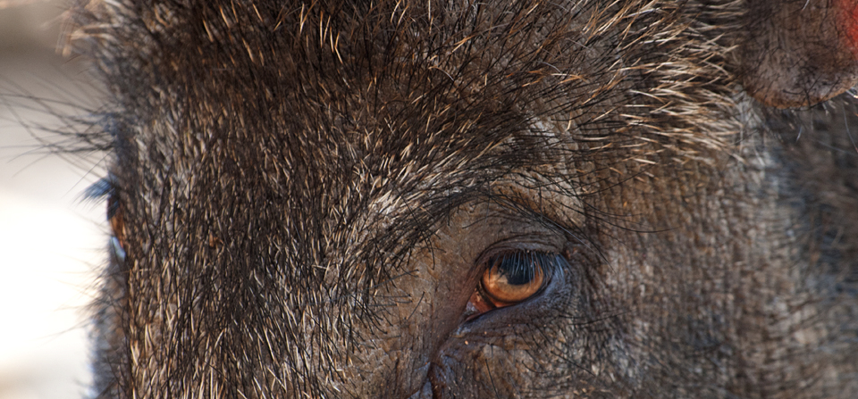 Getting close and personal with an Indian Wild Boar