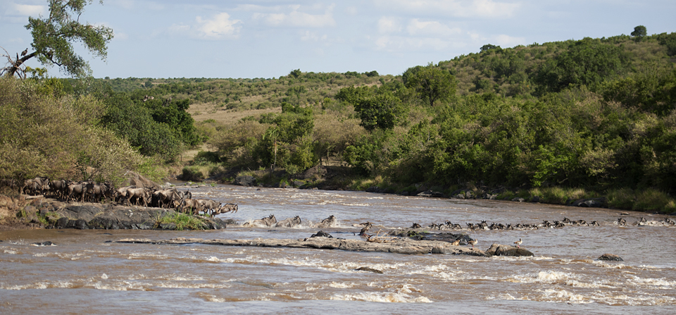 Mara river crossing during the Annual Great Wildebeest Migration
