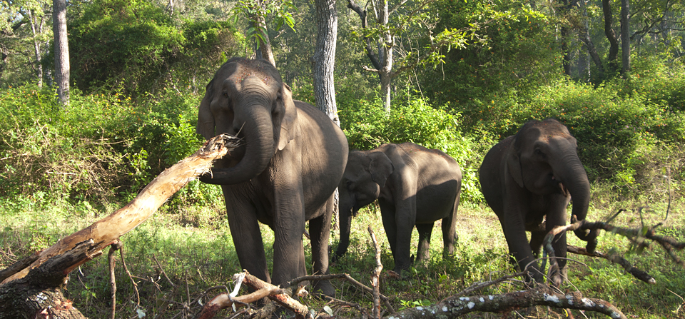 Elephants feeding on the bark of a tree