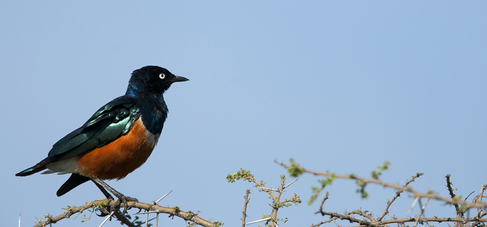 Superb Starling – East Africa's best known Starling