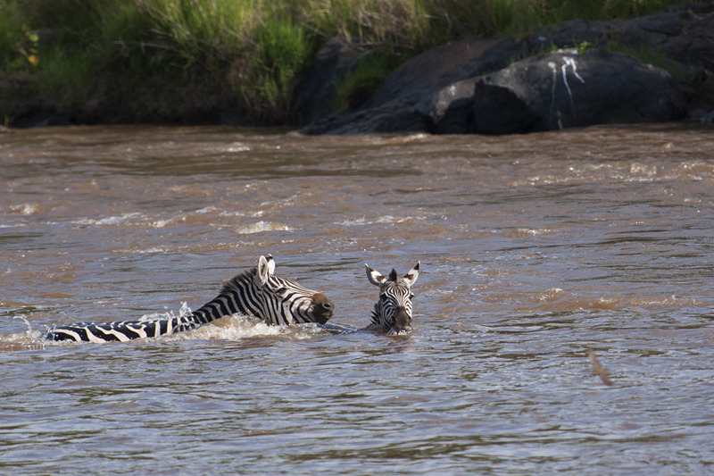 Zebras crossing Mara