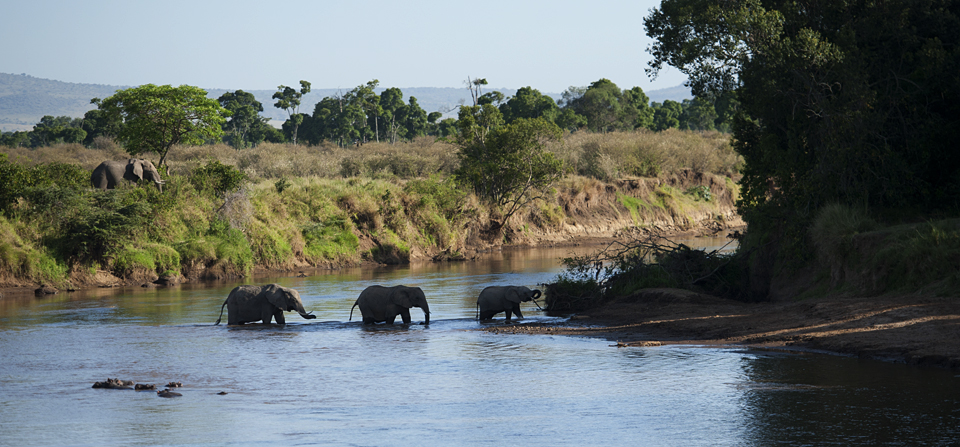African Elephants encouraging a calf to cross Mara river