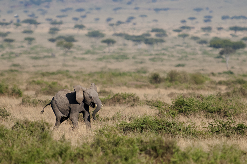 Juvenile African Elephant