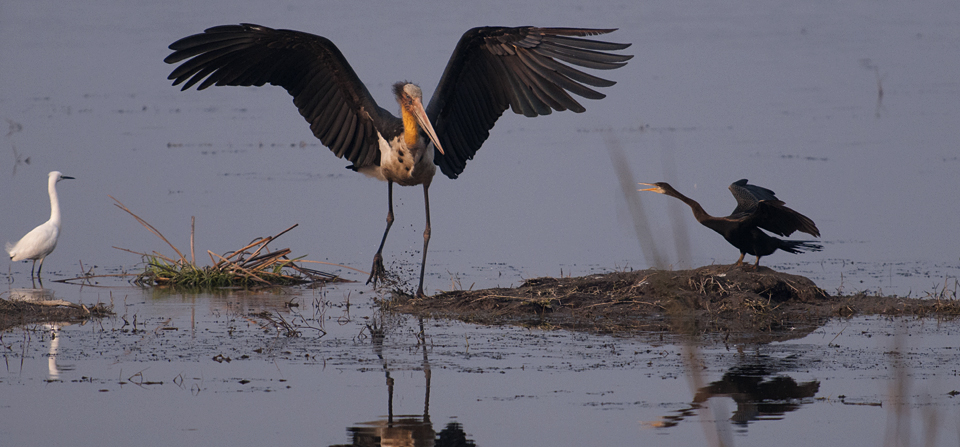 Adjutant Storks rule the Wetlands of Dudhwa National Park