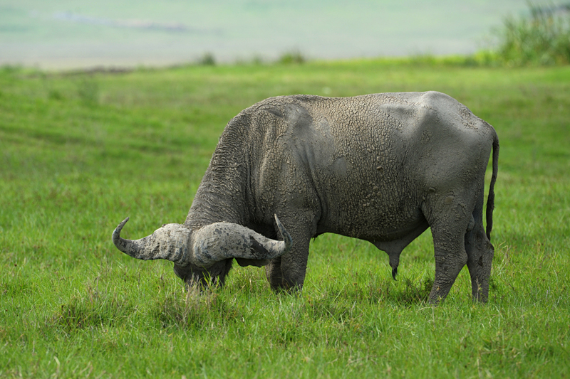 Cape Buffalo in Ngorongoro