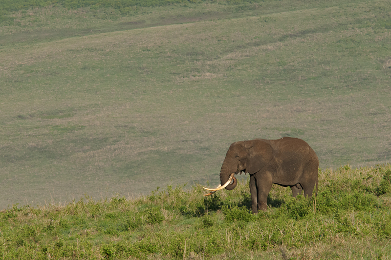 Elephant in Ngorongoro