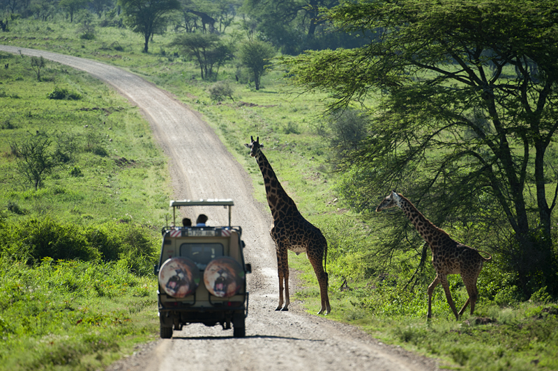 Giraffe crossing road in Serengeti