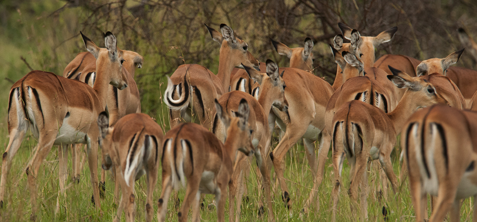 Antelopes of Africa