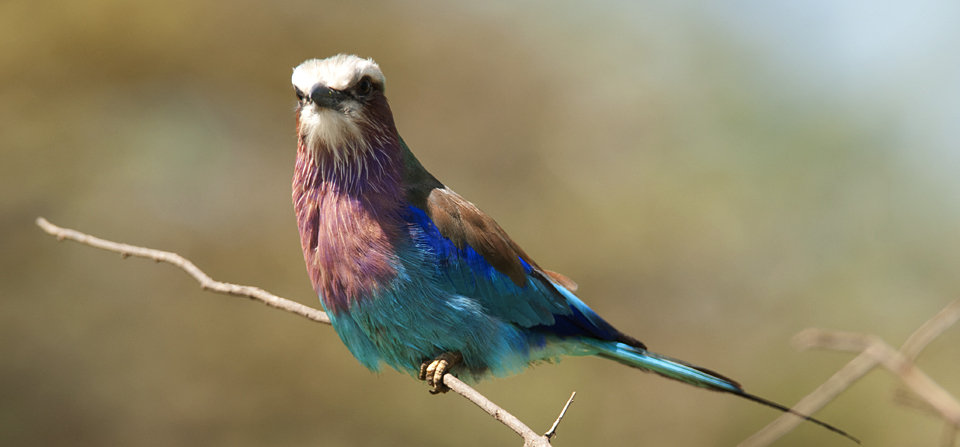 Lilac-breasted Roller in Birds of Africa