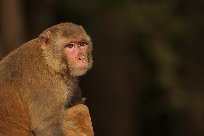 Macaque Potrait