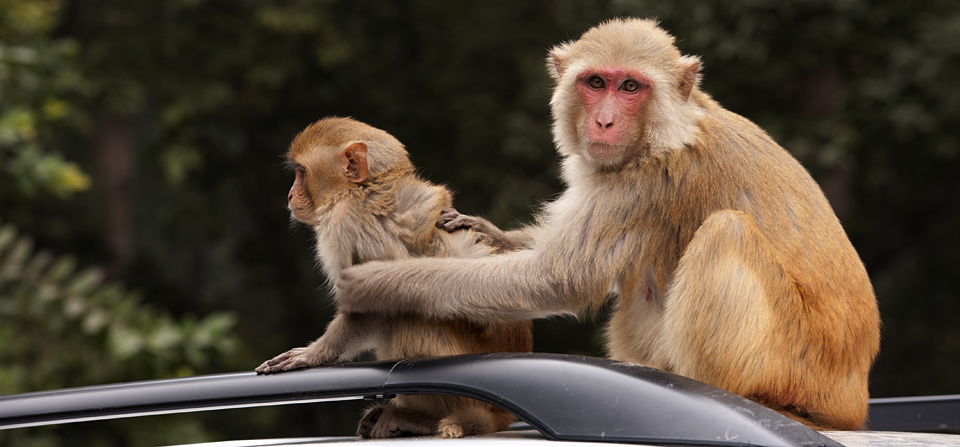 Macaque's fascination for cars in Dudhwa National Park