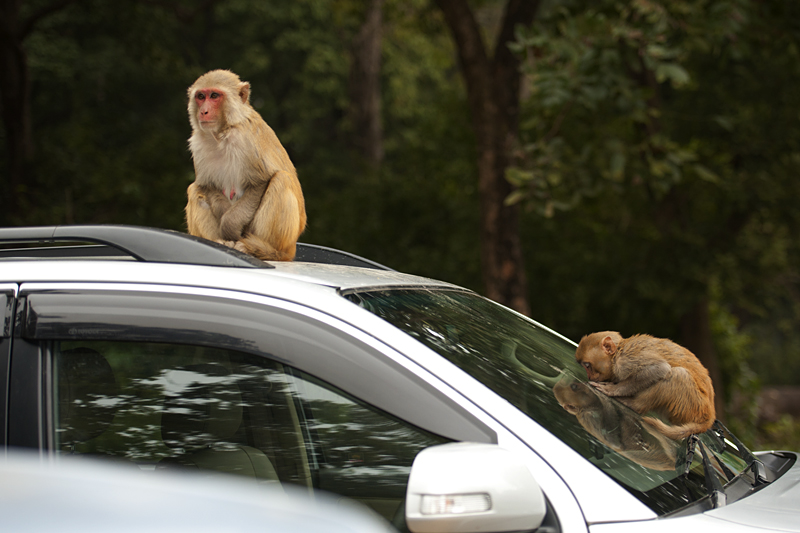 Macaque troop