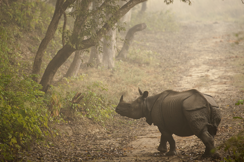 Indian Rhinoceros in Dudhwa