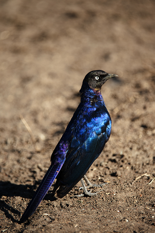Rippell's Long-tailed Starling