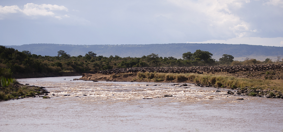 Wildebeest Abort Mara River Crossing in Masai Mara Reserve
