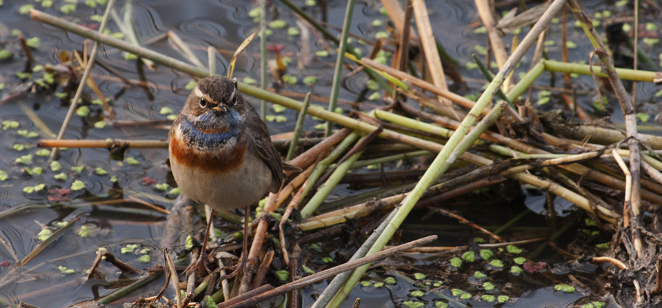 Bluethroat with an attitude in Dudhwa National Park