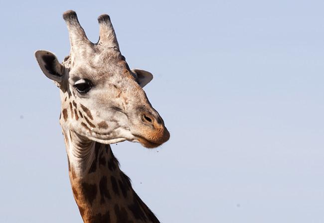 Friendly Giraffe and his headless companion in Masai Mara