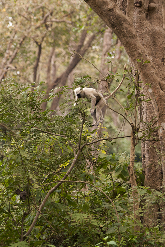 Langur Behavior