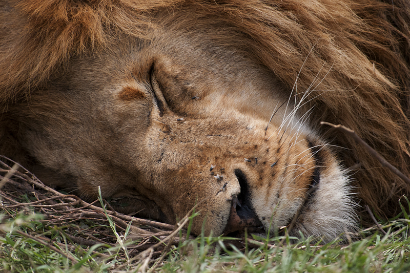 Sleeping African Lion