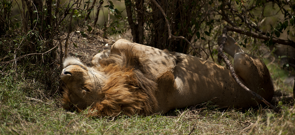 Nomadic Lions caught napping in Masai Mara Reserve