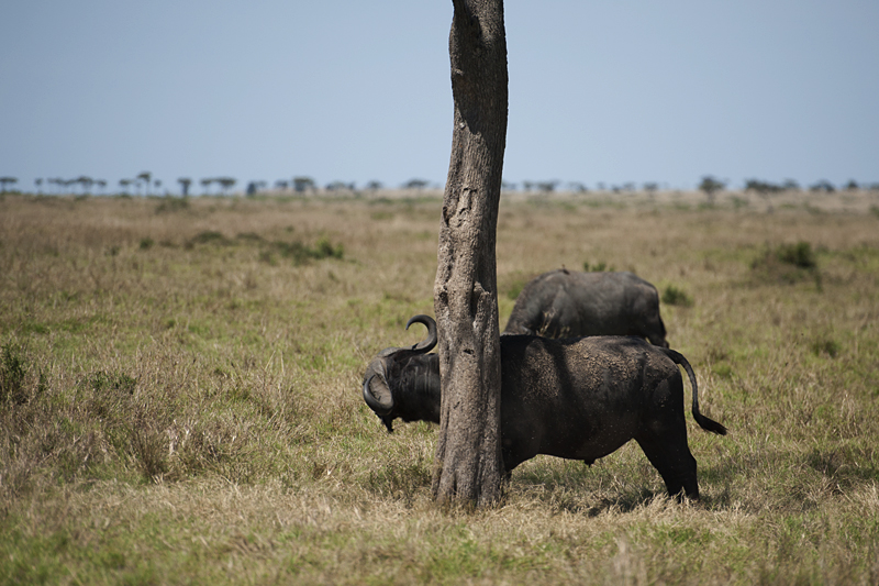 Cape Buffalo in Masai Mara