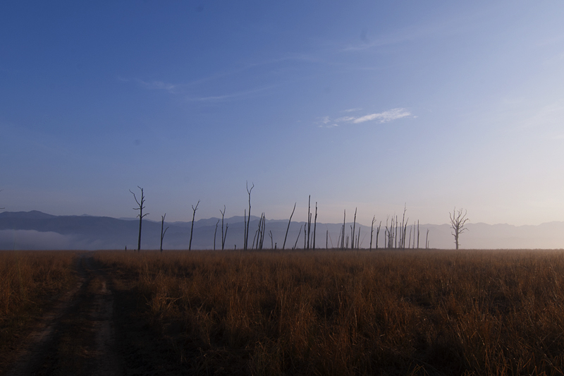 Dead Tree trunks at sunrise in Dhikala Grasslands