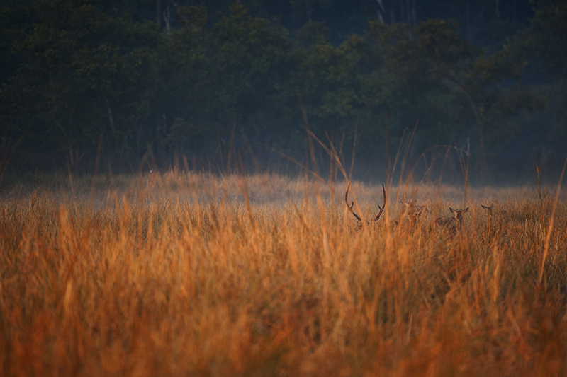 Deers at sunrise in Dhikala Grasslands