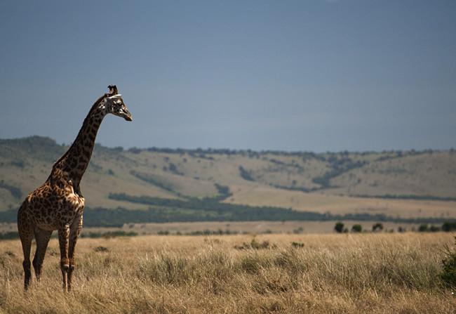 Giraffes watch over each other in Masai Mara