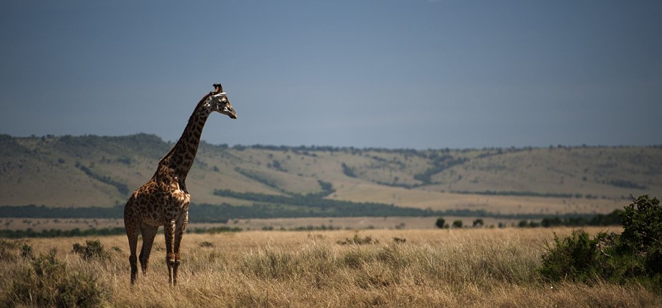 Giraffes watch over each other in Masai Mara
