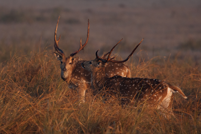 Posturing Chital Stags in Dhikala Grasslands