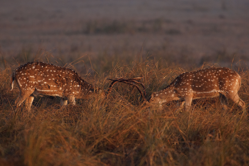 Sparring Chital Stags in Dhikala Grasslands